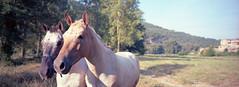 Friendly animals (Peter Bruijn) Tags: film filmisnotdead filmphotography filmphoto 135film analog analogue analogphotography analogfilm analogphoto analoog 35mmanalog kodak kodakfilm kodakportra kodak35mm kodakanalog kodakportra160 portra portra160 horse horses animals panoramic panorama xpan hasselblad hasselbladxpan xpan45mm 45mm 45mmf4 blad 35mm 35mmphotography 35mmphoto 35mmfilm 135 negative