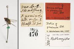 Aricia antiqua var. pruinosa Zetterstedt, 1845 (Biological Museum, Lund University: Entomology) Tags: diptera zetterstedt anthomyiidae aricia antiqua pruinosa delia mzlutype00388
