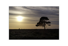 Southern Sunset. (muddlemaker1967) Tags: hampshire landscape photography thenewforest national park scots pine tree sunset heather heathland clouds fujifilm xt1 tamron sp 90mm f25 adaptall 2 lens 52bb fotodiox adapter
