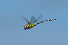 Migrant Hawker...... (klythawk) Tags: migranthawker aeshnamixta male dragonfly hovering inflight wildlife nature summer insect blue yellow brown black olympus omd em1mkll 300mm 14xtc attenboroughnaturereserve deltahide wildlifetrust beeston nottingham klythawk