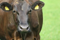 Delta Fortune Chrissy (excellentzebu1050) Tags: dairycows livestock cattle cow closeup animal animalportraits summer2018 farm field farmer grass coth5 sunrays5