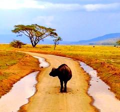 Kenya, Masai Mara National Reserve. Buffalo (dimaruss34) Tags: newyork brooklyn dmitriyfomenko image sky clouds svetlanafomenko kenya reflection buffalo plain masaimaranationalreserve