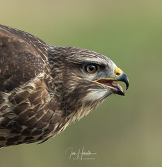Common buzzard (Ian howells wildlife photography) Tags: buzzard ianhowells ianhowellswildlifephotography nature naturephotography nationalgeographic canon canonuk wildlife wales wildbird wildbirds