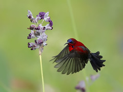 Crimson Sunbird _ JEP ☺☺ (mahi mahi 163) Tags: sunbird 600mm singapore