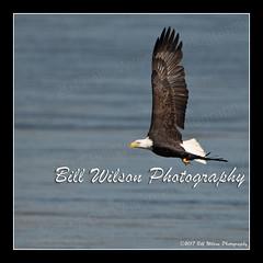 bald eagle flight (wildlifephotonj) Tags: baldeagle baldeagles eagle eagles raptor raptors wildlifephotography wildlife nature naturephotography wildlifephotos naturephotos natureprints birds bird birdphotography