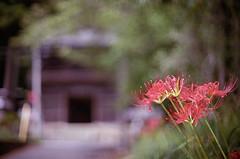 門前に咲く (t_mimizuk) Tags: film nikon flower lycoris temple red scarlet itsukaichi akiruno tokyo japan