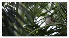 Je patiente que la nuit tombe (Dankerkreol) Tags: 2018 arbre branche faune feuille nature oiseau palmiste septembre tourterelle
