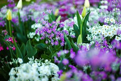 spring bokeh (nzfisher) Tags: bokeh spring season seasonality blossom blossoms flower flowers queensland queenspark toowoomba leica summilux f14 purple