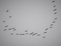 cranes (Maryann Clark) Tags: sandhillcranes migration flocks birds magnificent incredible sky flight flying thousands alberta canada fortsaskatchewan september 2018