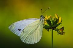 Pieris napi (5) (JoseDelgar) Tags: insecto mariposa pierisnapi 425871958735196 josedelgar naturethroughthelens coth coth5 ngc alittlebeauty npc fantasticnature