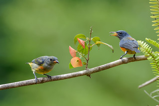 Orange-bellied Flowerpecker ..Kaeng krachan NP Thailande