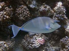 P1-008935 (charlesvanlangeveld) Tags: shortnoseunicornfish nasounicornis bluespineunicornfish unicornfish redsea red sea marsaalam egypt indopacific scuba diving fish portraits underwater