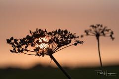 Flower silhouette (PaulHoo) Tags: nikon d750 macro closeup sun backlit mijdrecht summer 2018 nature evening abstract fineart plant leaf sunset dof bokeh