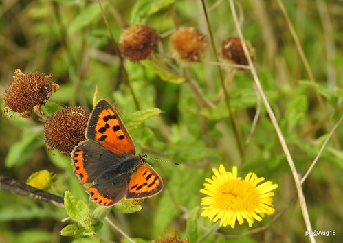 Small copper, showing off.