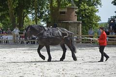 2018.06.21.065 HARAS du PIN - percheron (alainmichot93 (Bonjour à tous - Hello everyone)) Tags: 2018 france frankreich francia frankrijk frança γαλλία франция normandie orne pinauharas harasdupin haras animal mammifère équidé cheval horse pferd caballo cavallo cavalo paard άλογο лошадь percheron nikon nikond5100