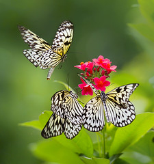 Three of a kind. Paper Kite Butterflies frolicking around Peregrina flowers. Idea leuconoe. Wings of the Tropics. Fairchild Tropical Botanic Garden. (pedro lastra) Tags: macro flower butterfly plant garden fairchild tropical botanic