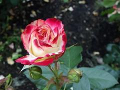 Rose lumière (Iris@photos) Tags: nature fleur rose bicolore