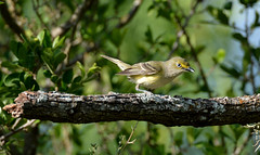 White-eyed vireo (justkim1106) Tags: vireo tinybird texasbird birding nature wildlife bokeh naturebokeh texaswildlife animal songbird