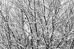 Birch tree limbs covered with snow in the winter with birds sitt (Jim Corwin's PhotoStream) Tags: junco abstract animal animaltheme barelimbs beautiful beauty beautyinnature birch birchtree bird birds chaotic complexity confusion crisscross crossed deciduousplants disorder entangled horizontal interconnected intertwined limbs mothernature naturalworld nature network nobody outdoors photography quiet serenity snarled snow tangled tranquil tree twisted winter marysville washington usa
