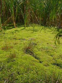 Crassula helmsii (New Zealand Pygmyweed)