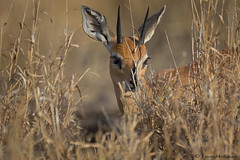 Hide and seek (leendert3) Tags: leonmolenaar southafrica krugernationalpark wildlife nature mammals steenbokram ngc npc coth5