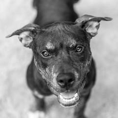 Jade02Sep201845-Edit.jpg (fredstrobel) Tags: dogs pawsatanta phototype atlanta blackandwhite usa animals ga pets places pawsdogs decatur georgia unitedstates us