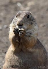 Let's pray (Jan Slob) Tags: rotterdam blijdorp zuidholland netherlands holland zoo animal nikon nikond750 ©allrightsreserved geotagged prairiedog prairiehond fun lol