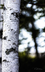 The Forest for the Trees (Vanessa wuz Here) Tags: 90mm landscape fall autumn shadows silhouette universityofalbertabotanicalgarden birch alberta colours devon devoniangarden prairies copyrightvanessabartosek