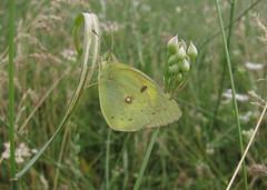 Colias erate (Pieridae: Coliadinae: Coliadini) (yakovlev.alexey) Tags: turkestanrange kyrgyzstan pieridae coliadinae coliadini