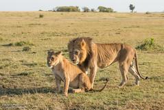 Lion's - Panthera leo (rosebudl1959) Tags: 2018 kenya masaimara zebraplains olbarnotiandhisgirl malelion lioness