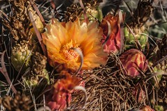 12139 (Joshua Wells Photography) Tags: canon desert cactus cacti canoncamera t4i canont4i 5d teamcanon landscape mountains mountain arizona az photography canonlens scottsdale
