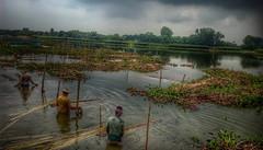 Jute the Golden Fiber of Bangladesh (bulbul057) Tags: goldenfiber jute village villageside bangladesh proude iso photography flicker flickerlover followforfollow