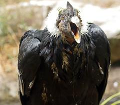condor Berlin Zoo JN6A6995 (j.a.kok) Tags: condor birdofprey roofvogel vogel andesconcor bird berlijn berlijnzoo