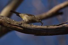 Female Golden Whistler (Luke6876) Tags: goldenwhistler whistler bird animal wildlife australianwildlife