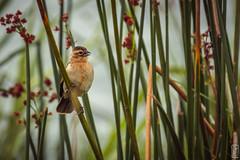 sparrow (peter birgel) Tags: africa nature wildlife bird sparrow tansania ngorongoro travel travelphotography nikon d500