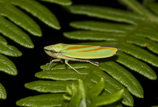 Rhodedendron Leafhopper (Graphocephala fennahi)