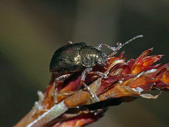 Leaf-beetle Geloptera jugularis (Simon Grove (TMAG)) Tags: tasmania tmagzoology tasmanianmuseumandartgallery insecta coleoptera chrysomelidae gelopterajugularis
