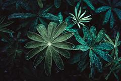 Green #3 / Sweden (Sebastian Warneke) Tags: green grün nature blätter leaf sweden schweden september bottom macro 23mm apsc fuji fujifilm detail fujinon plant pflanzen xt2 xtrans water drops farn