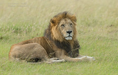 Male Lion - Panthera leo (rosebudl1959) Tags: 2018 kenya masaimara zebraplains olbarnoti june