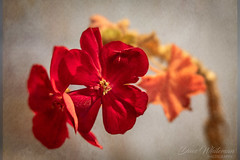 Sunday Still Life (Dave Whiteman - AU) Tags: flower lensbabyvelvet56 stilllife things flowers geranium closeup