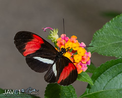 Postman butterfly-Heliconius melpomene-7915 (George Vittman) Tags: insect toxic color red black wildlifephotography jav61photography jav61 nikonpassion fantasticnature ngc