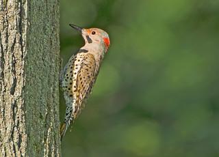 Northern Flicker: Colaptes auratus (Explored)