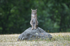 Lynx Rufus (toryjk) Tags: bobcat california californiawildlife nature wildlife wildcat wild king hill malebobcat kingofthehill rockcat bobcatonrocks bobcateye bobcatting