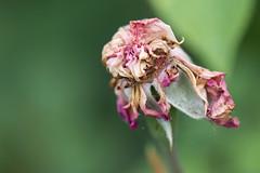 deadhead (Francis Mansell) Tags: rose flower petal sepal plant kew kewgardens royalbotanicgardenskew macro dof depthoffield