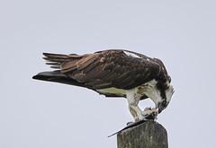 08-28-18-0033024 (Lake Worth) Tags: animal animals bird birds birdwatcher everglades southflorida feathers florida nature outdoor outdoors waterbirds wetlands wildlife wings