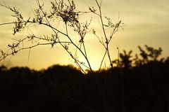 Прощальный закат августа / Farewell sunset of august (Владимир-61) Tags: вечер закат лето август природа травы флора evening sunset summer august nature flora sony ilca68 minolta 75300