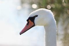 Waterleidingduinen: natural beauties (H. Bos) Tags: zwaan swan waterleidingduinen amsterdamsewaterleidingduinen natuur nature zandvoort vogelenzang awd natura2000