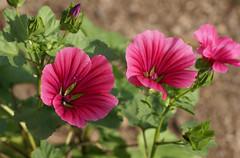 Malve / malva (HEN-Magonza) Tags: botanischergartenmainz mainzbotanicalgardens rheinlandpfalz rhinelandpalatinate deutschland germany flora malve malva