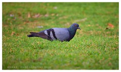 Pigeon.. (Meraj.) Tags: nationalgeographic images pictures beyondbokeh bokehandbeyond bokeh lovely karnataka asia indian village india solo one pigeon colours colour green birds nikond5300 stunning dslr beautiful nikonflickraward nikon photography