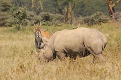 Alpha herbivore (Nagarjun) Tags: lakenakurunationalpark kenya eastafrica wildlife bigfive whiterhino whiterhinoceros southernwhiterhinoceros ceratotheriumsimumsimum safari gamedrive herbivore biggame